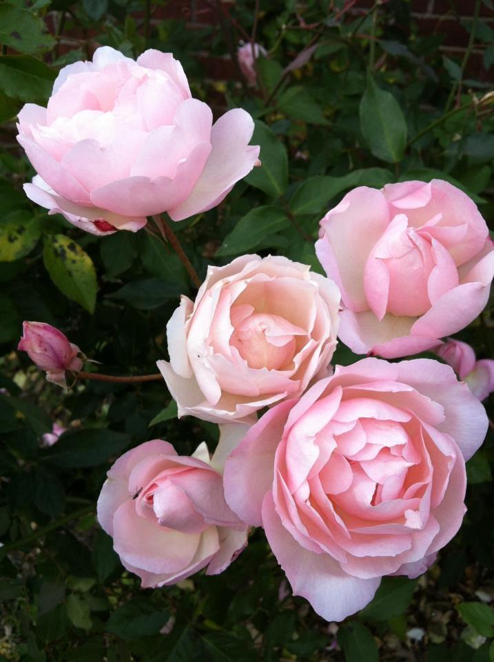 Duchesse de Brabant est une rose ancienne issue d'un rosier thé. La floraison est remontante. Les fleurs de 7 cm de diamètre, doubles, en forme de coupe, réunies en bouquets, très parfumées se colorent de rose nuancé de saumon. Le rosier 'Duchesse de Brabant' possède une ramure dense et un feuillage vert moyen. Hauteur 1 à 2 m. Hybride de thé. Bernède, 1857.