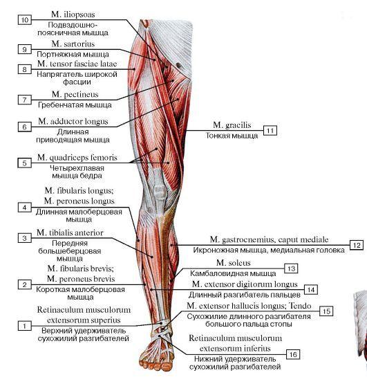 Мышцы нижней конечности, правой, вид спереди:  1 - Superior extensor retinaculum; 2 - Fibularis brevis; Peroneus brevis; 3 - Tibialis anterior; 4 - Fibularis longus; Peroneus longus; 5 - Quadriceps femoris; 6 - Adductor longus; 7 - Pectineus; 8 - Tensor fasciae latae; Tensor of fascia lata; 9 - Sartorius; 10 - Iliopsoas; 11 - Gracilis; 12 - Gastrocnemius, medial head; 13 - Soleus; 14 - Extensor digitorum longus; 15 - Extensor hallucis longus; Tendon; 16 - Inferior extensor retinaculum