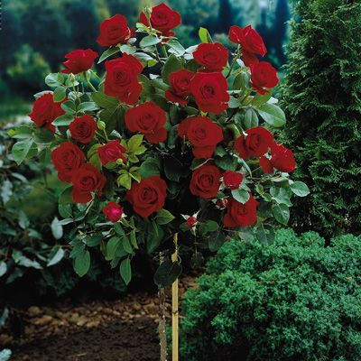 25 best ideas about rose trees on pinterest knockout rose tree standard roses and rose bush - Planting rose shrub step ...