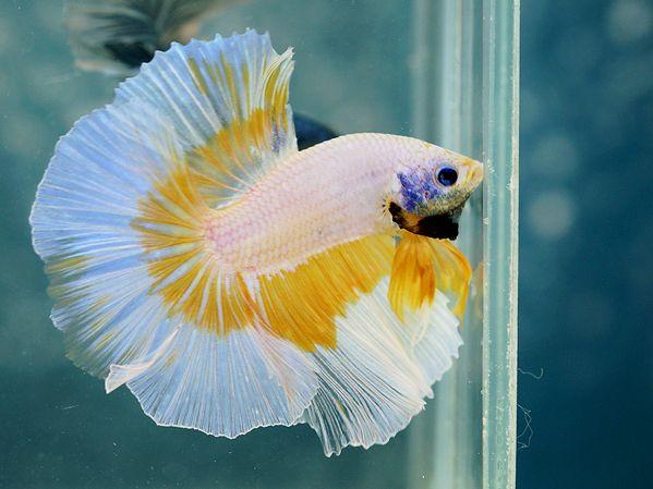 Yellow white butterfly fancy bettas pinterest for Butterfly betta fish