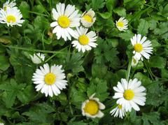Bellis perennis - Plant Finder