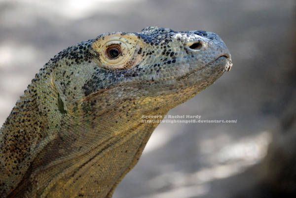 Beautiful Dragoness By 8twilightangel8 Komodo Dragon Komodo Dragon Pictures Beautiful