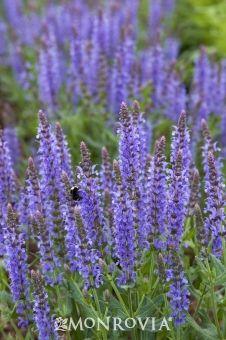 Blue Hill Meadow Sage Salvia X Sylvestris Spectacular Perennial