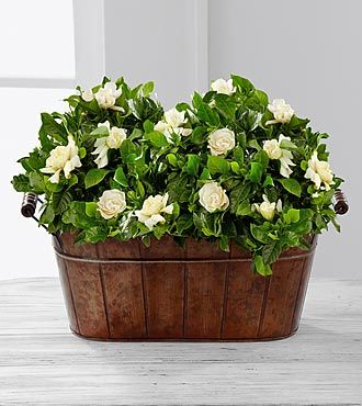 inspiring gardenia house plant. Blooming Grace Gardenia Plant Duo  Shown 97 best s images on Pinterest White flowers Beautiful
