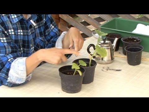 Все о выращивании огурцов. Как подготовить рассаду огурцов.Часть 2