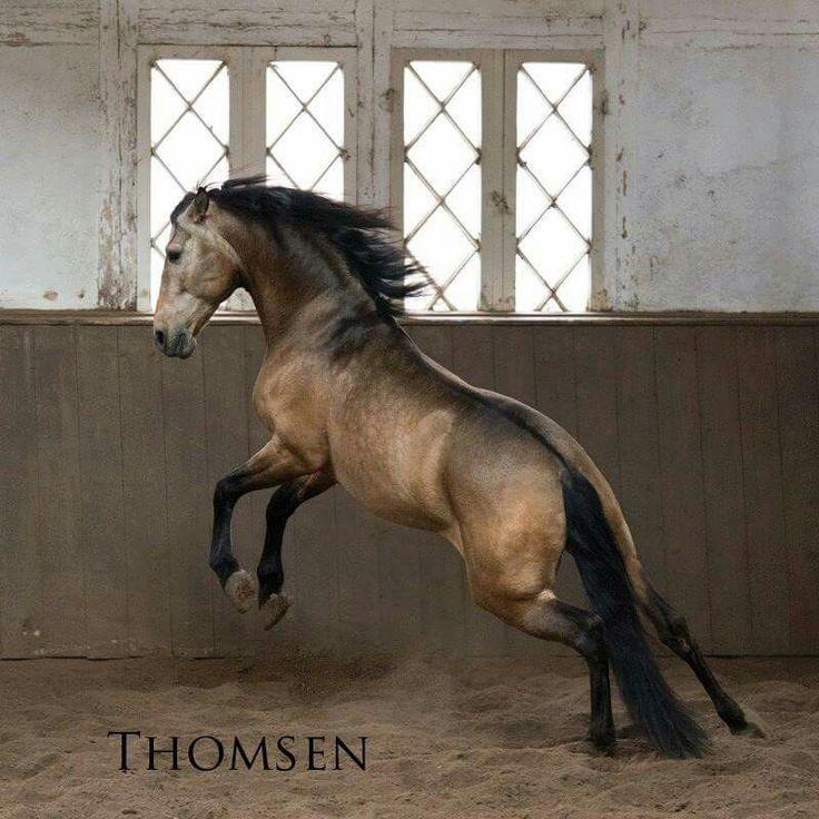 beautiful sooty buckskin. - Spanish Horses Germany the stud farm in Traventhal http://www.spanische-pferde-deutschland.de/verkaufspferde-in-traventhal/novato-la-reina/