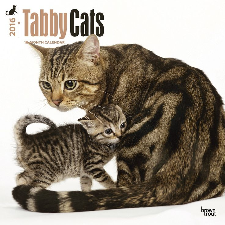 tabby cats calendar 2016
