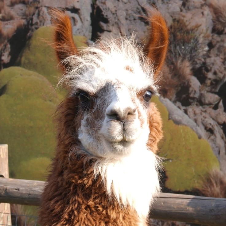 Alpaca Andino #pinChile #fauna