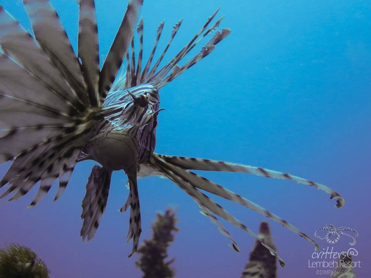 Look at me!  Common Lionfish can be a good object for wide angle diving.  Photo by our own Dimpy Jacobs  #WideAngleWonder #Lembeh #Underwaterphotography