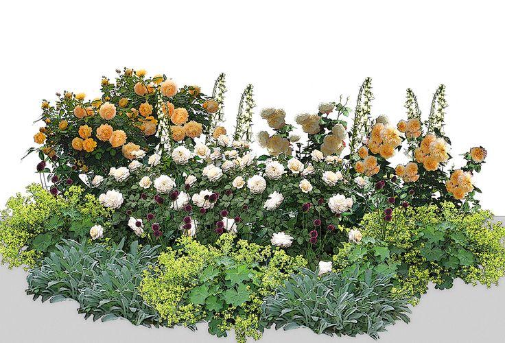 Композиция в светлых, солнечных тонах с использованием различных оттенков желтого. Мелкие вкрапления лука с бордовыми соцветиями добавляет изюминку цветнику. 1. Роза Golden Celebration — 1 шт. 2. Роза Crocus Rose — 2 шт. 3. Роза Lichfield Angel — 1 шт. 4. Роза Port Sunlight — 1 шт. 5. Манжетка мягкая — 5 шт. 6. Чистец шерстистый — 3 шт. 7. Наперстянка — 2 шт. 8. Лук круглоголовый — не менее 20 шт.