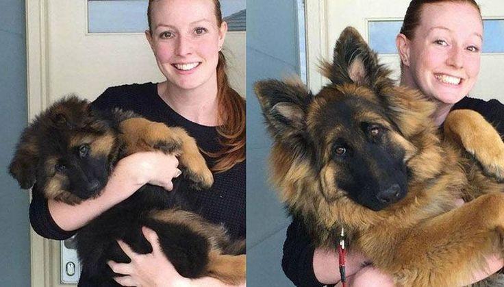 Pastor aleman cachorro crece en 6 fotografías geniales! Un perro bebé de 2 meses posa en brazos de su dueña, y tras 6 meses se convierte en un enorme perro!