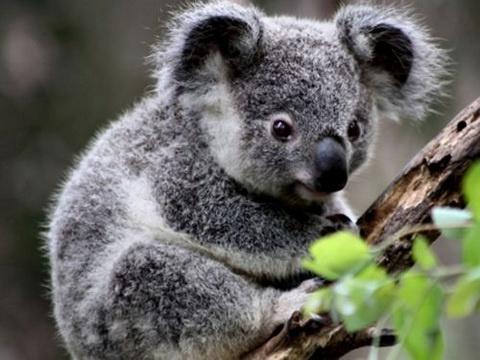 Koalas are endangered by tree plantations in Australia. For more see: www.rainforest-rescue.org/mailalert/925/australia-koalas-cry-for-help