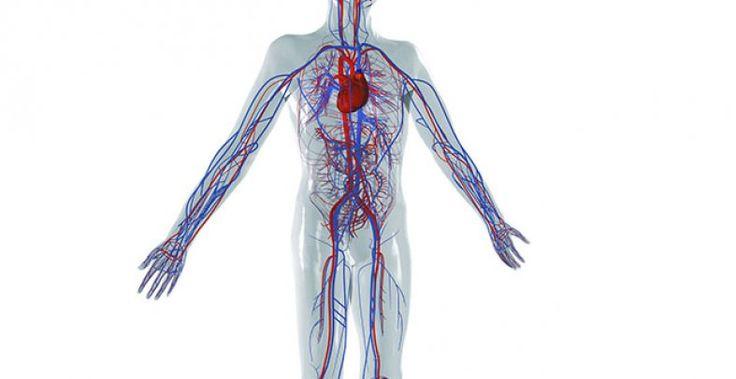 Blutgefäße und Herz bilden das Herz-Kreislauf-System. Arterien transportieren das Blut vom Herzen in den Körper, wodurch der gesamte Organismus mit Sauerstoff und Nährstoffen versorgt wird.