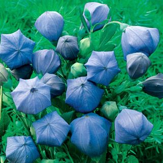 The most exotic Balloon Flower yet, Komachi resembles a mass of blue umbrellas seen from above, something like Renoir's famous painting Les Parapluies. @Jessica Proctor