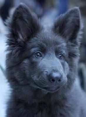 Blue German Shepherd look amazing!