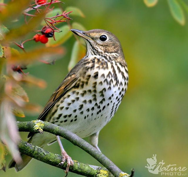 Song Thrush (Turdus philomelos) Europe and Asia