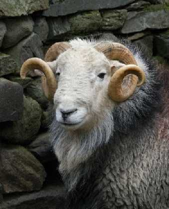 A Herdwick Ram. Their smooth round horns are found on rams only. Ewes do not have horns. Herdwick sheep are widely considered to be the most hardy of all Britain's breeds of hill sheep.