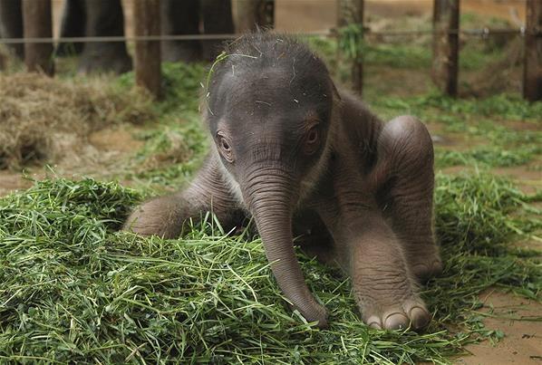 Новорожденный азиатский слон.