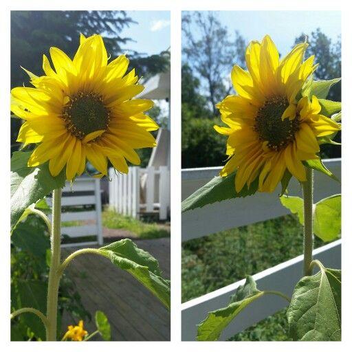 Første solsikken som blomstrer! 18.7