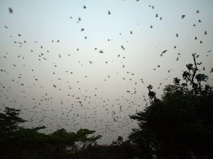 Epidemie: Flughunde (in Ghana): Haben sie das Ebola-Virus, das die aktuelle Epidemie ausgelöst hat, nach Westafrika gebracht? Schon 2012 hatten Bonner Forscher herausgefunden, dass die fliegenden Säuger wahre Virenschleudern sind.