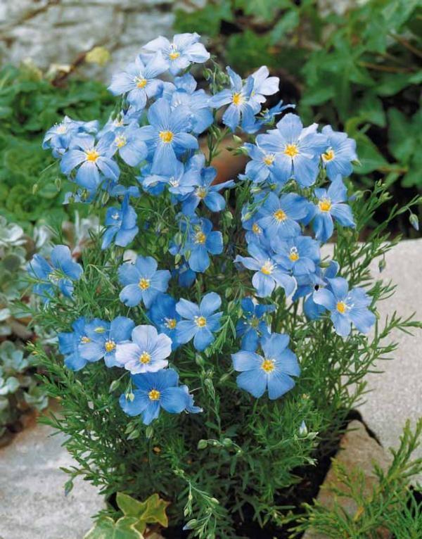 17 meilleures id es propos de fleurs bleues vivaces sur pinterest les fleurs bleues l ombre - Fleurs vivaces bleues ...