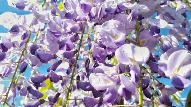 #wisteria #glicine