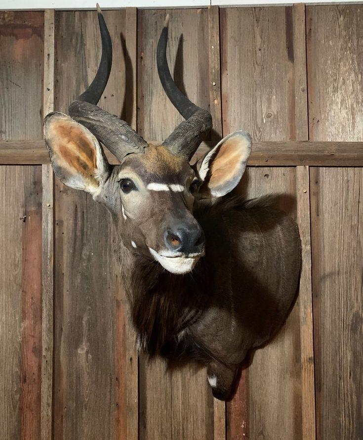 Nyala Taxidermy for sale, Taxidermy, Horns
