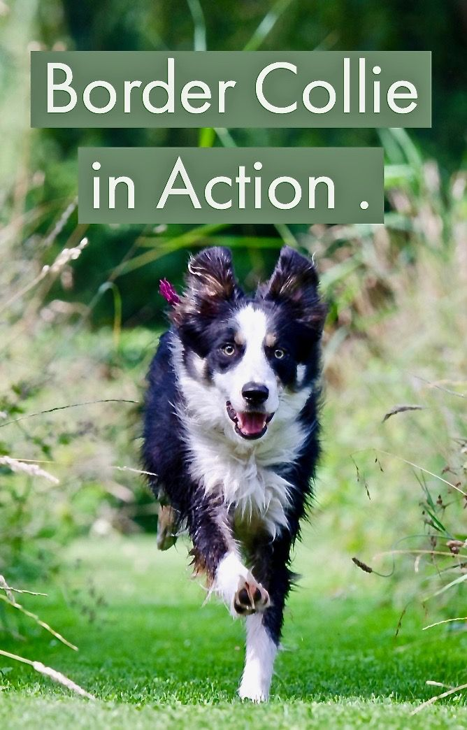 The Border Collie Is A Working Dog It Needs Access To Large Open Spaces A Constant Engagement With Its Owner It S Wrong To Border Collie Collie Sheepdog