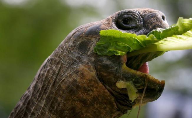 Identifican nueva especie de tortuga gigante en islas Galápagos | El Universal