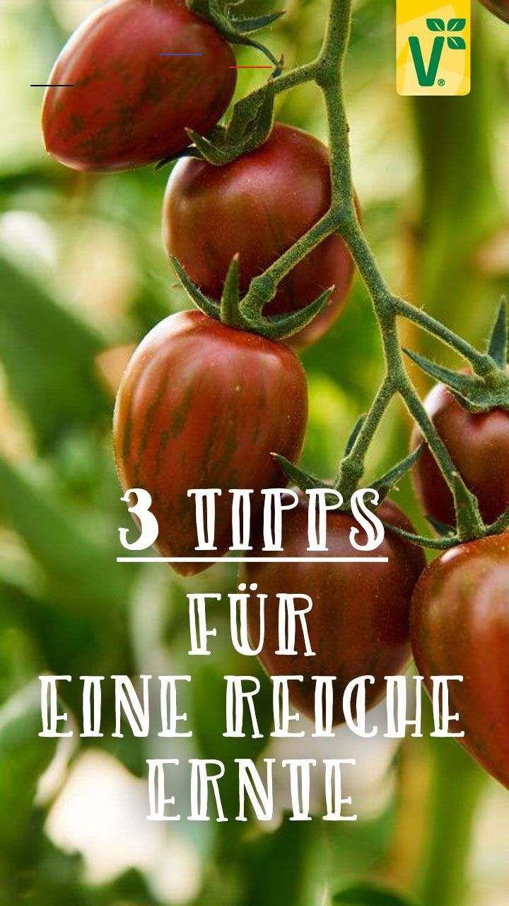 Tomaten Im Garten Pflegen Tomatenpflanzen Kleine Saftig Susse Cherrytomaten Vollmundige Rote Fleischtomaten Oder Ungewohnlich Aussehende Zebratomaten I En 2020