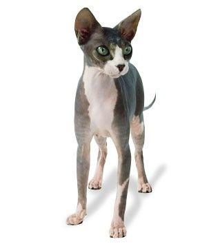 best litter box for sphynx cat