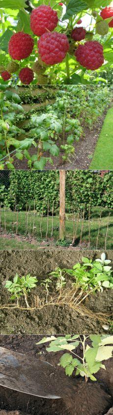Простой способ удвоить урожай малины — 6 соток