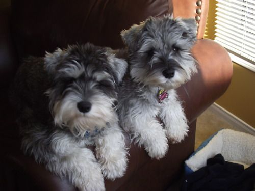 Aww these 2 darling little mini schnauzer puppies just to cute!!
