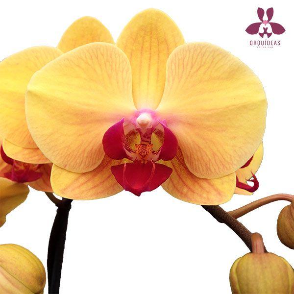 Orquideas Mantequilla
