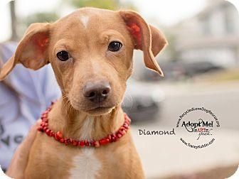 Meet DIAMOND, an adoptable Dachshund looking for a forever home. If you're looking for a new pet to adopt or want information on how to get involved with adoptable pets, Petfinder.com is a great resource.