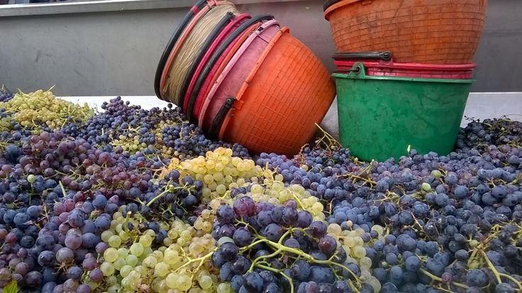 #Bardolino, #Chiaretto und mehr! Anlässlich der Weinvorstellung 2016 (in der Dogana Veneta in Lazise), bei der ca. 300 Produzenten gut 90 Weine zur Verfügung wird Ca' dei Rotti eines der Unternehmen bei der Verkostung sein.