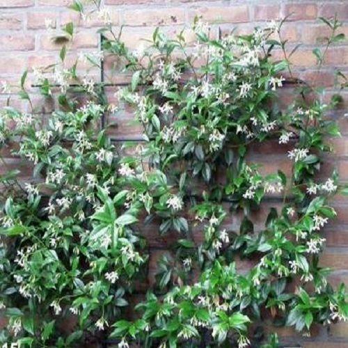 Toscaanse jasmijn (Trachelospermum jasminoides - wintergroen