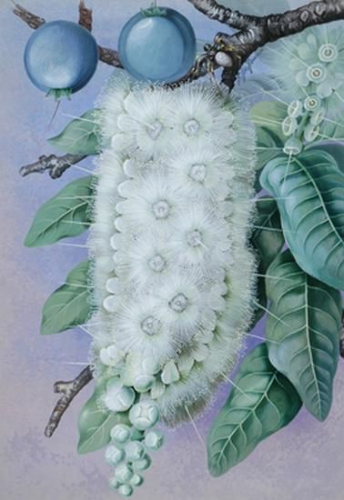 Barringtonia:  Marian Ellis (Ellis) Rowan (1848-1922) Australia
