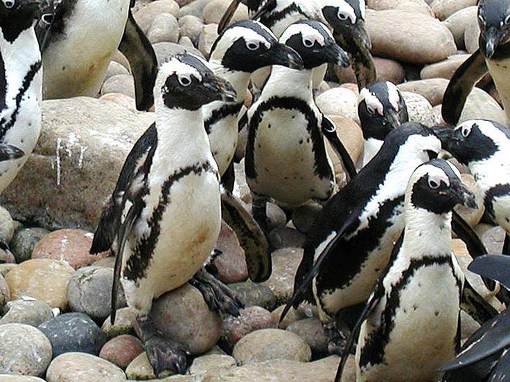 African penguin | Encyclopedia Britannica