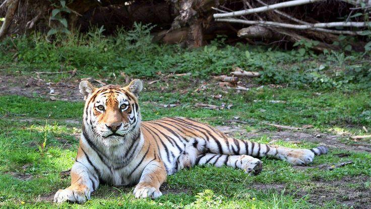 Scientists want to bring back extinct Caspian tiger