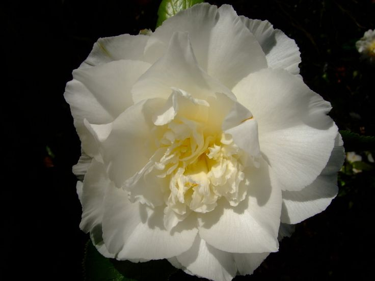 https://flic.kr/p/24a6q4J | Camellia | www.youtube.com/user/yewmchan/videos