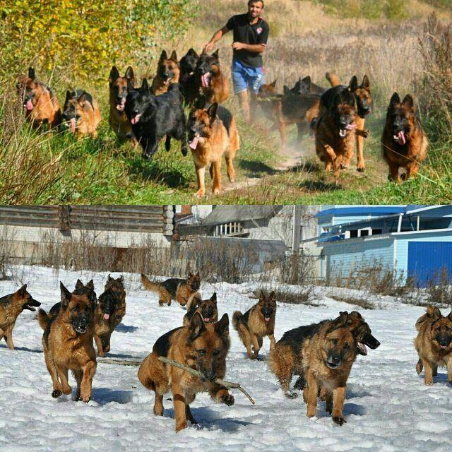 German Shepherd Puppies The Key To Dog Obedience Traininggerman