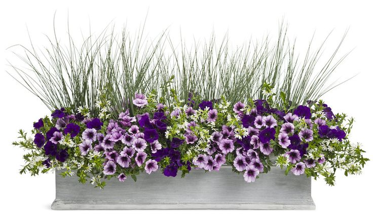 Wild Ride | Proven Winners - (3) Supertunia® Royal Velvet Petunia, (2) Supertunia® Bordeaux™ Petunia, (4) Graceful Grasses® Blue Mohawk® Soft Rush, (3) Whirlwind® White Fan Flower