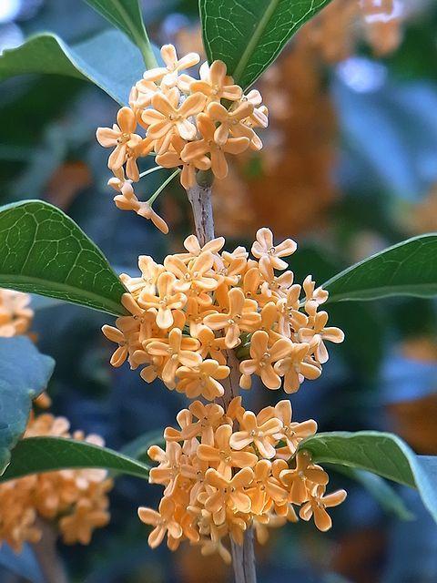 [甘い香りの花々 ] 秋口に、どこからともなく漂ってくる、金木犀の甘い香りが好きです。