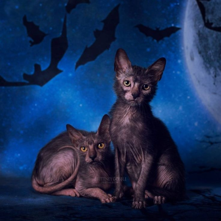 Lykoi | World of Animal