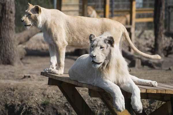 Fehér oroszlánok Nyíregyházán