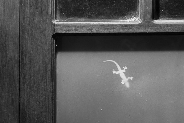 Through the glass - A hotel resort in Hue, Vietnam was swarmed by hunting lizards in the evening.