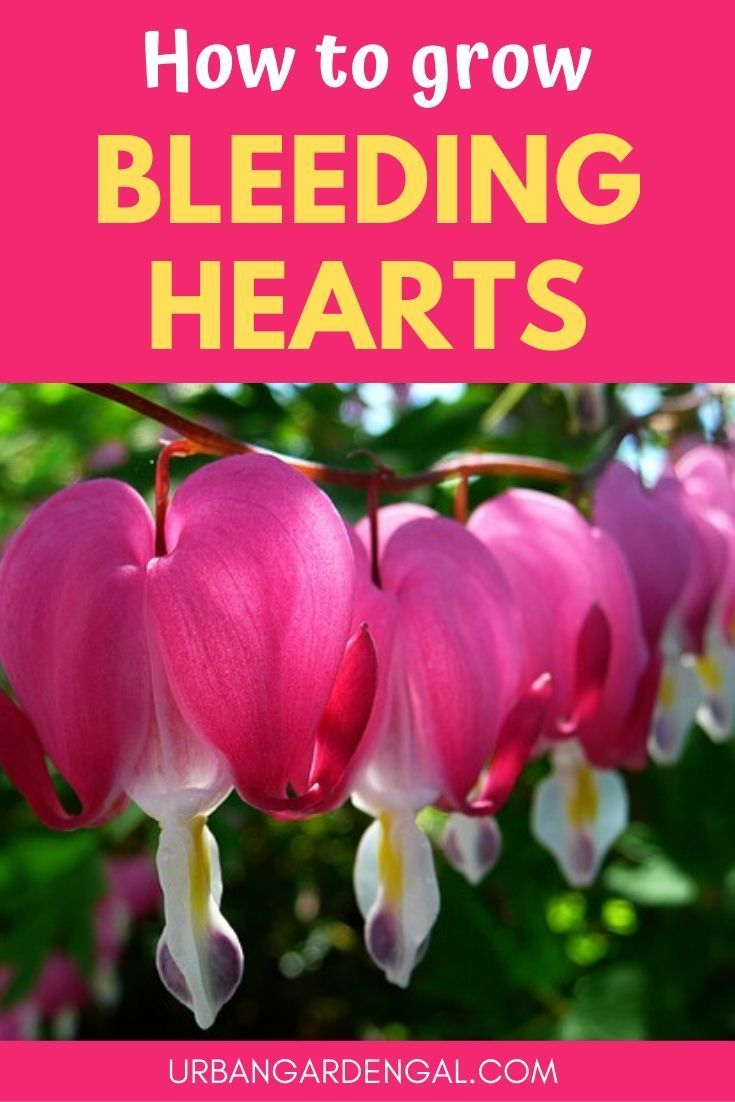 How To Grow Bleeding Heart Flowers In 2020 With Images Flowers Perennials Garden Flowers Perennials Shade Loving Perennials