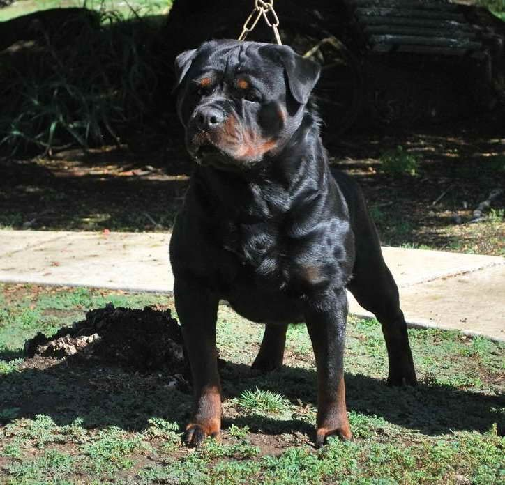 All Black Rottweiler Puppies For Sale Rottweiler Puppies For