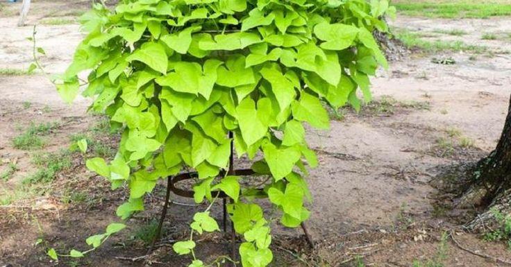 les 25 meilleures id es concernant plante rampante sur pinterest petit jardin l 39 inglaise. Black Bedroom Furniture Sets. Home Design Ideas